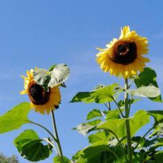 Auringonkukat kurkottivat monen metrin korkeuteen.