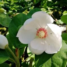 Pensasmagnolian herkkä kukka.
