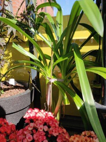 Lukinliljat ovat komeasti kasvaneet pituutta vaan ei vielä minkäänlaista merkkiä kukkimisesta. Saa nähdä, tuleeko niitä edes.