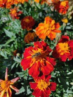 """Upea samettikukka """"Carmen"""". Osa kukista kerrottuja, osa yksinkertaisia ja osa siltä väliltä."""